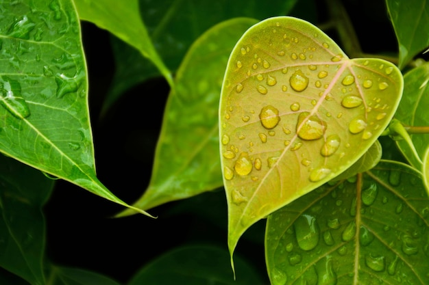 Grünes bo-blatt nach dem regnen des tages