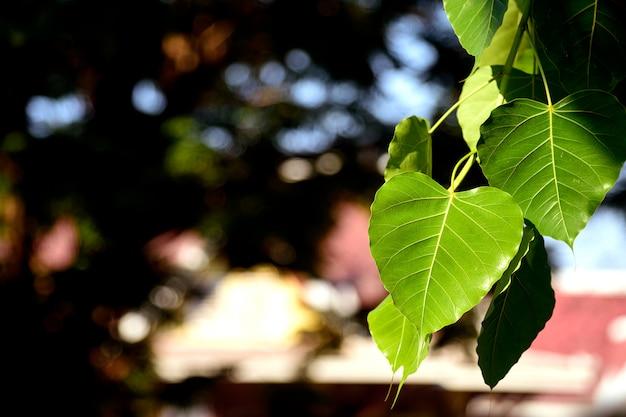 Grünes bodhi der nahaufnahme verlässt (bo-blätter) ith weichzeichnung und über licht im hintergrund