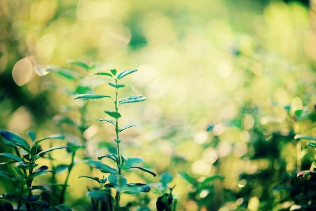 Grünes bokeh im morgenlicht und sonne leckt. der abstrakte hintergrund jedoch unscharf. sommer-konzept. bokeh unscharf.