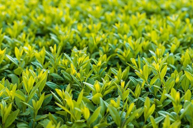 Grünes büsche nahaufnahmefoto. frischer frühling hinterlässt hintergrund, weichzeichner
