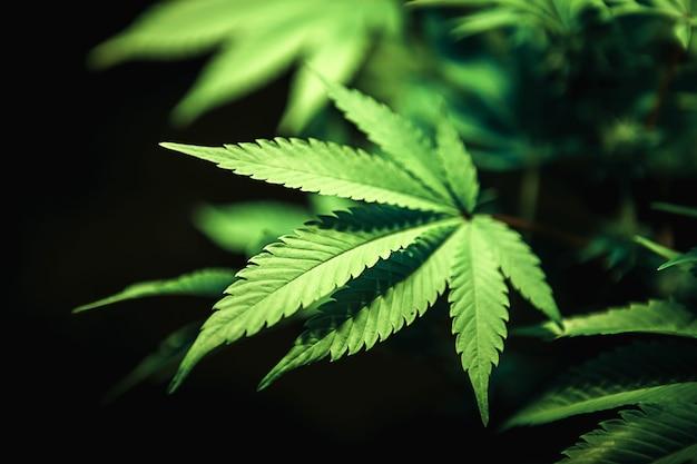 Grünes cannabisblatt nah oben auf schwarzem hintergrund, medizinisches marihuana