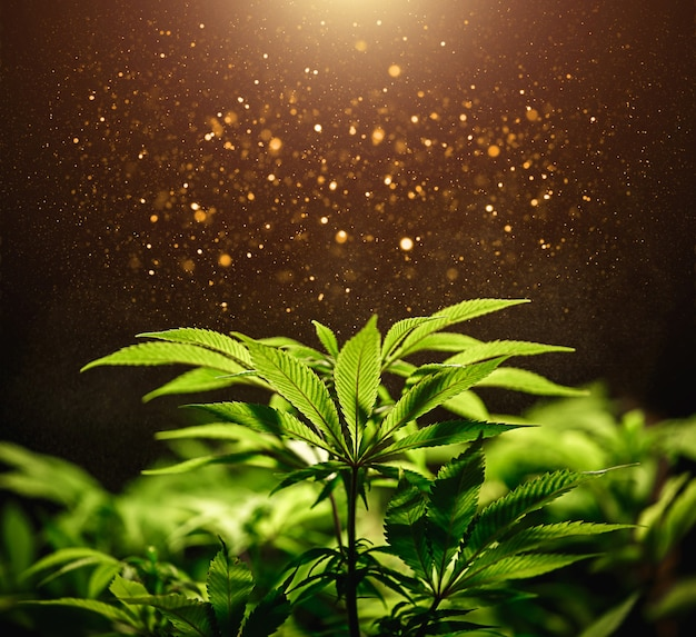 Grünes cannabisblatt schließen oben auf schwarzem hintergrund mit sonnenstrahl und glühen. medizinischer marihuana-anbau. speicherplatz kopieren