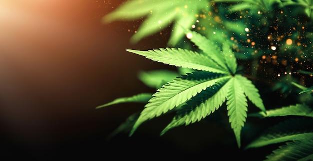 Grünes cannabisblatt schließen oben auf schwarzem hintergrund mit sonnenstrahl und glühen.