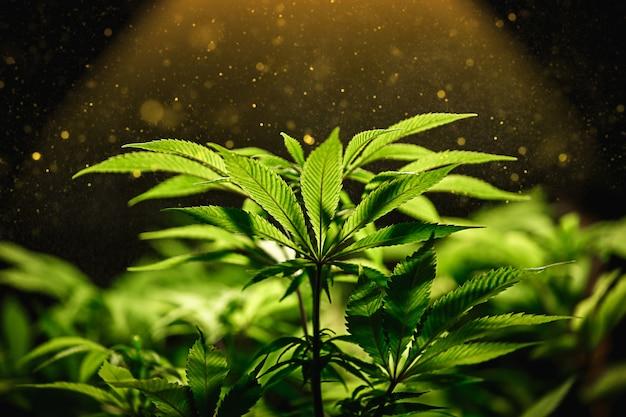 Grünes cannabisblatt schließen oben mit sonnenstrahl und glühen.