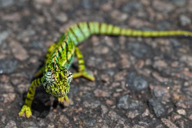 Grünes chamäleon auf dem asphalt