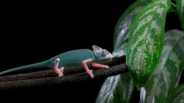 Grünes chamäleon auf einem ast, schöne farbe des chamäleons