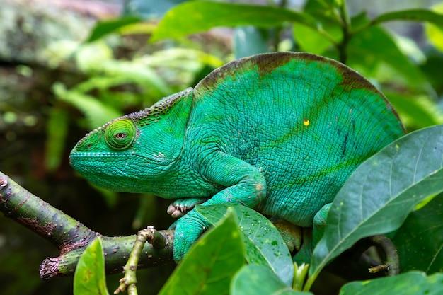 Grünes chamäleon auf einem zweig in der natur