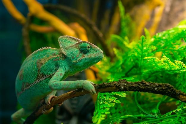 Grünes chamäleon im terrarium. exotisches haustier.