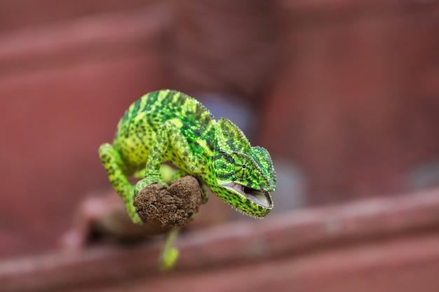 Grünes chamäleon indien