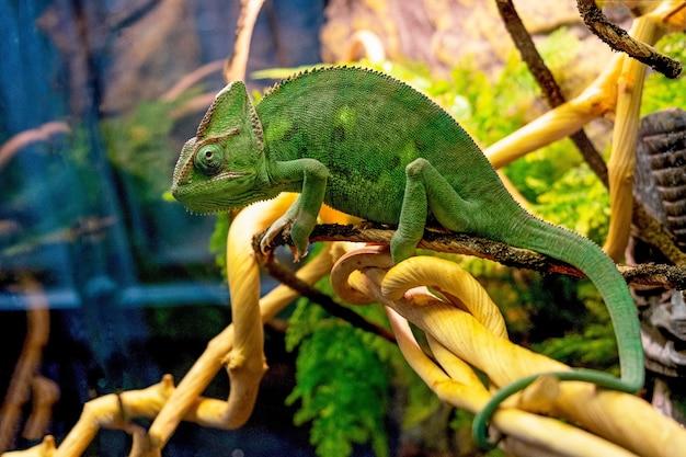 Grünes chamäleon sitzt auf einem ast in der nähe. wilde tiere reptil.