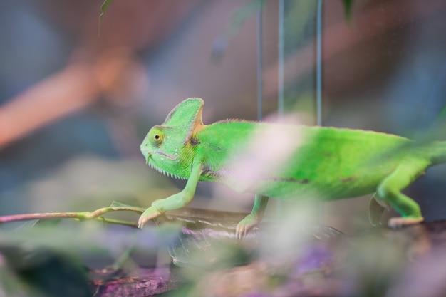 Grünes chamäleon sitzt auf einer niederlassung.