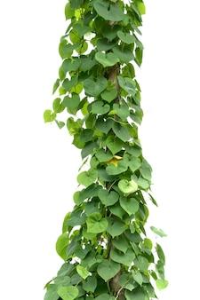 Grünes efeupflanzenisolat auf weißem hintergrund