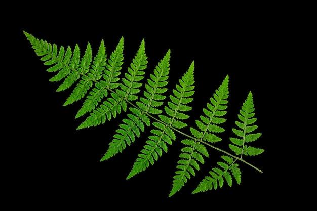 Grünes farnblatt auf einem schwarzen hintergrund