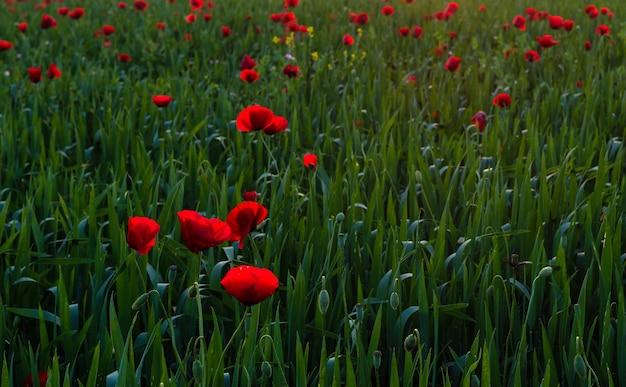 Grünes feld mit blühenden roten mohnblumen