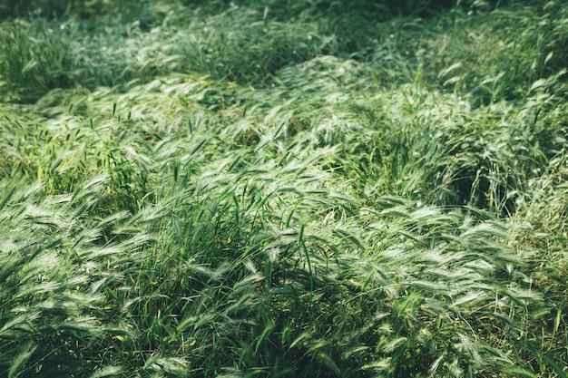 Grünes feld mit gras und den ährchen im frühjahr