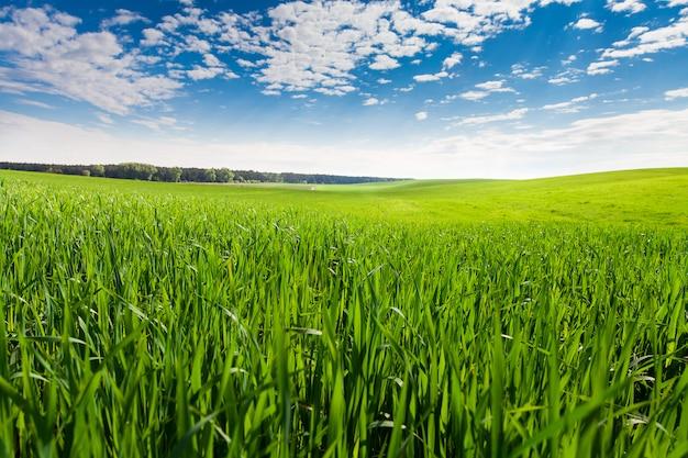 Grünes feld und schöner sonnenuntergang