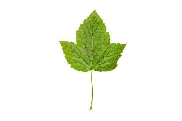 Grünes frisches johannisbeerbeerenblatt lokalisiert auf weiß