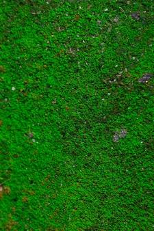 Grünes frisches moos wächst auf dem felsen im natürlichen hintergrundthema auf. die moose sitzen innerhalb einer pflanzenteilung.