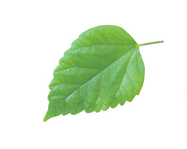 Grünes frühlingsblatt lokalisiert auf weißer oberfläche