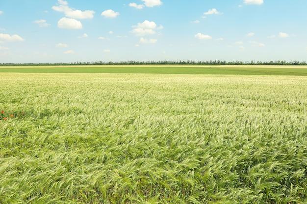 Grünes gerstenfeld gegen himmel, raum für text. landwirtschaft