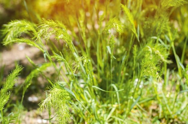 Grünes gras an einem sonnigen tag. selektiver fokus. textur des grases.