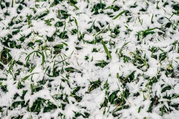 Grünes gras auf rasen, bedeckt mit weißem schnee