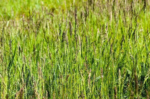 Grünes gras und vegetation auf dem feld während oder sommersaison nahaufnahme