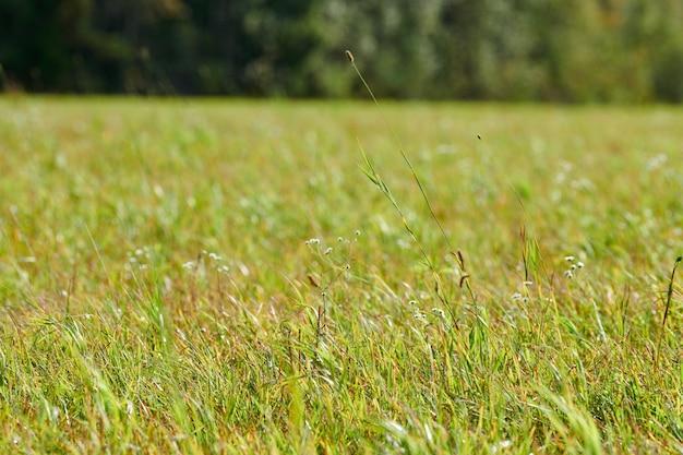 Grünes gras, wiesenfeld, waldhintergrund. sommerlandschaft, weidevieh. schöner gras- und waldhintergrund für design.