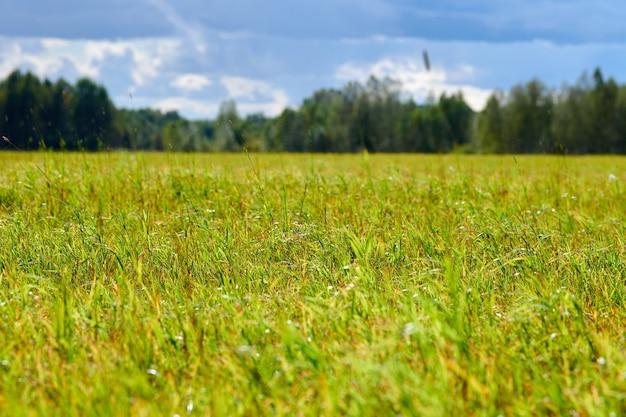 Grünes gras, wiesenfeld, waldhintergrund. sommerlandschaft, weidevieh. schöner gras- und waldhintergrund für entwurf. Premium Fotos