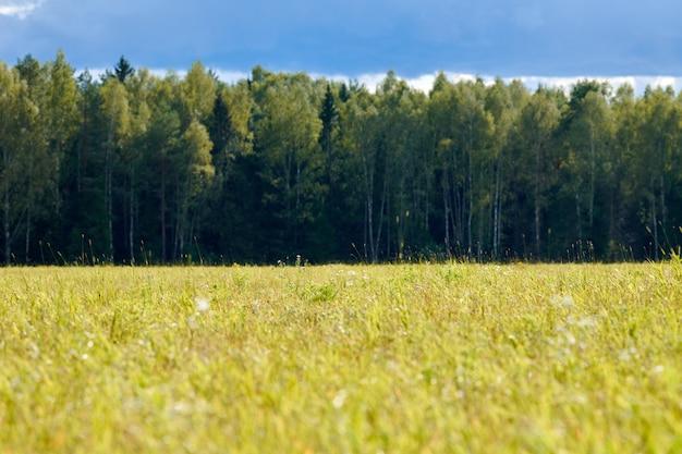 Grünes gras, wiesenfeld, waldhintergrund. sommerlandschaft, weidevieh
