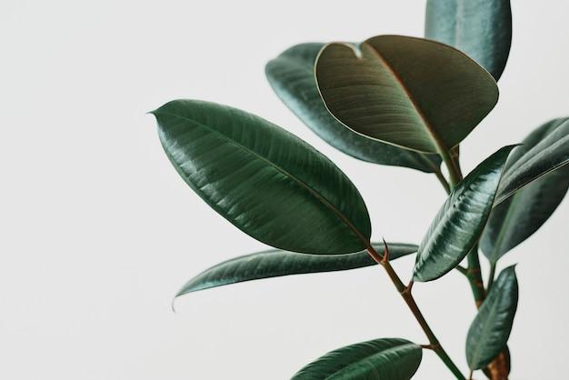 Grünes gummipflanzenblatt auf grauem hintergrund