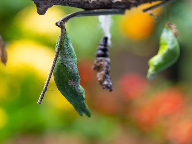 Grünes hängendes pupa lebensetappe von der gleiskette zum schmetterling