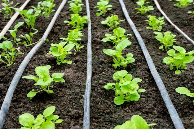Grünes haus des jungen gemüses im boden