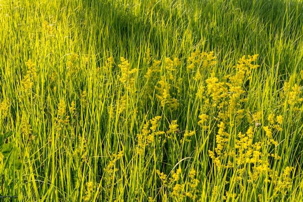 Grünes hohes gras auf dem gebiet.
