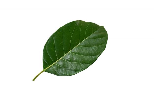 Grünes jackfruchtblatt im weißen hintergrund