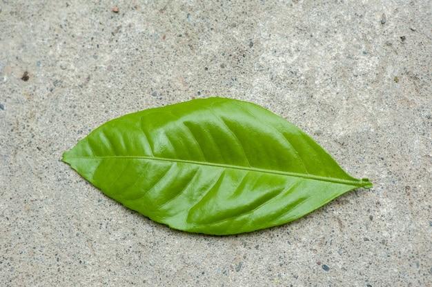 Grünes junges blatt des mandarinenbaums auf konkretem hintergrund