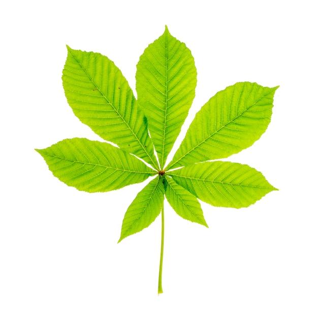 Grünes kastanienblatt getrennt auf weiß.