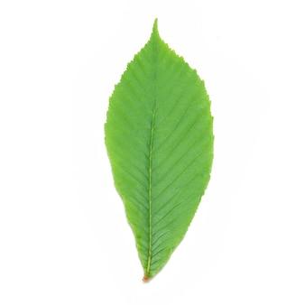 Grünes kastanienblatt isoliert.
