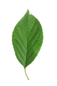 Grünes kirschblatt-isolat auf weißem hintergrund