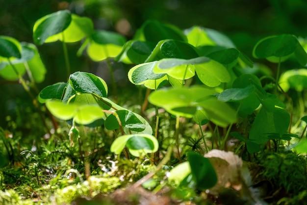 Grünes kleeblatt mit dreiblättrigen kleeblättern. st. patrick's day feiertagssymbol.