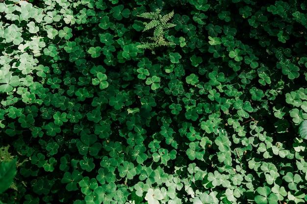 Grünes kleefeld. natürliche blätter im wald. echter natürlicher hintergrund