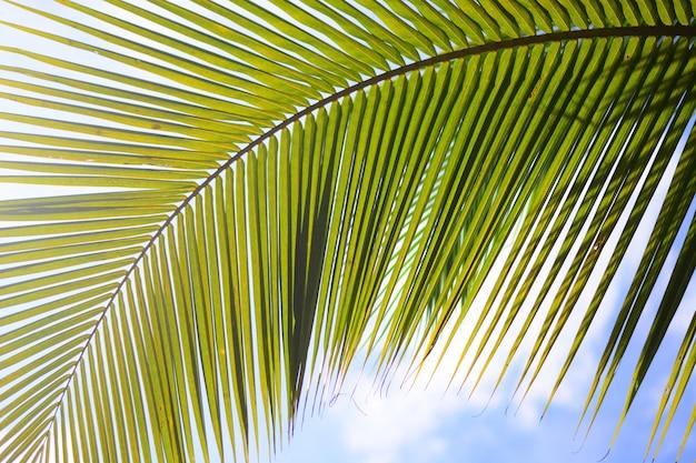 Grünes kokosnussblatt mit himmelhintergrund