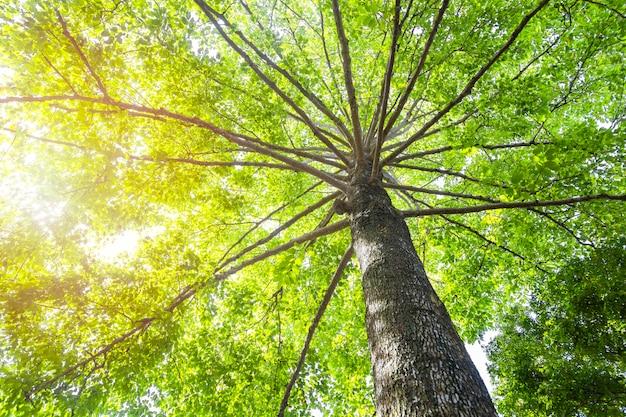 Grünes konzept. oberer baum mit grünen blättern von unten geschossen und sonnenlicht.