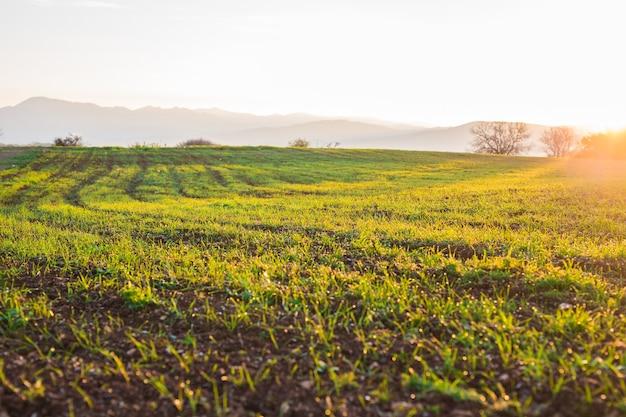 Grünes ländliches feld am frühen morgen.