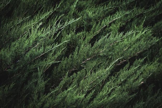 Grünes laub der mediterranen zypresse
