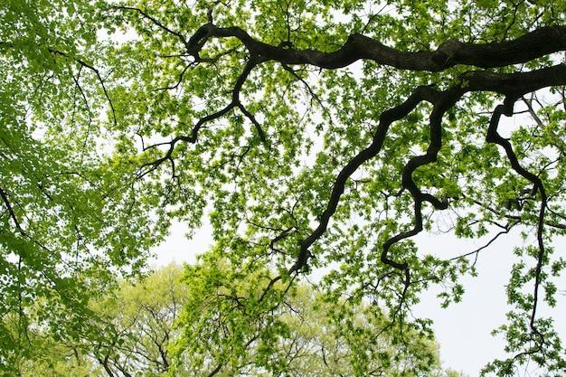 Grünes laub des baumkronenbeschaffenheitshintergrunds