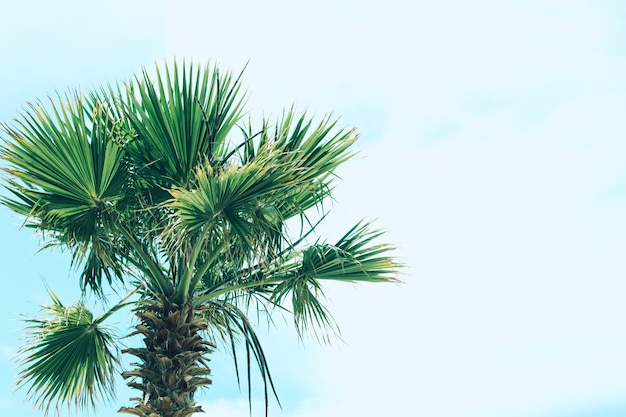 Grünes laub von hohen palmen im hintergrund des himmels. livistona rotundifolia oder fächerpalme. platz für text.