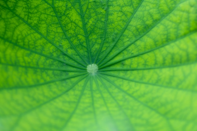 Grünes lotosblatt und adermuster der schönheit im blatt