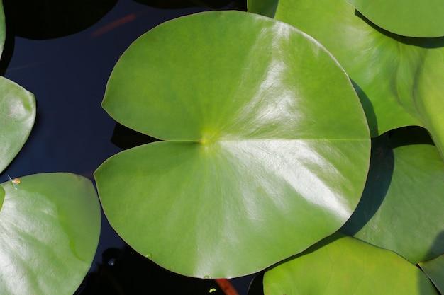 Grünes lotusblatt im teich.