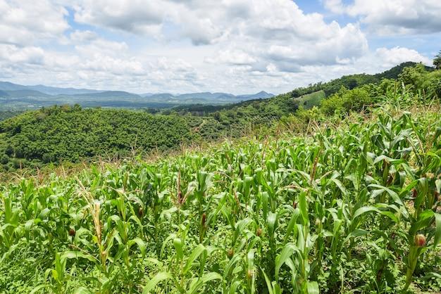 Grünes maisfeld im asiatischen blauen himmelhintergrund der plantagenlandwirtschaft